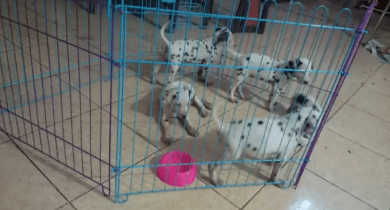 JuaL Anjing DaLmatian 101