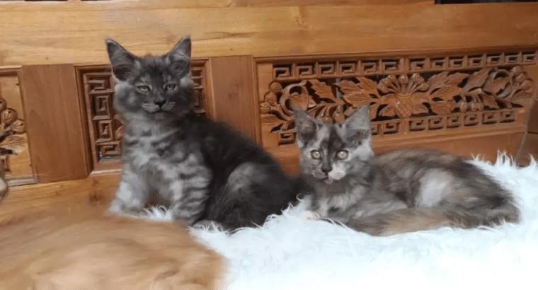 Kitten Maineccon Imut Datang Lagi