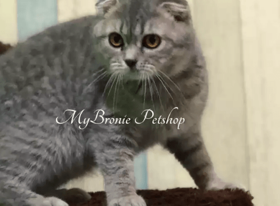 Kucinh Scottish Fold Import Ukraina Female 6 Bulan
