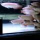 Ikan hias arowana/arwana super red +-20CM