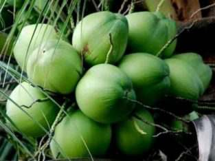 Kelapa muda kelapa hijau kelapa tua Surabaya