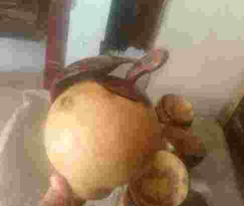 celengan batok kelapa