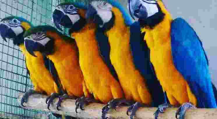 Jual Burung Macaw Dengan Harga Murah