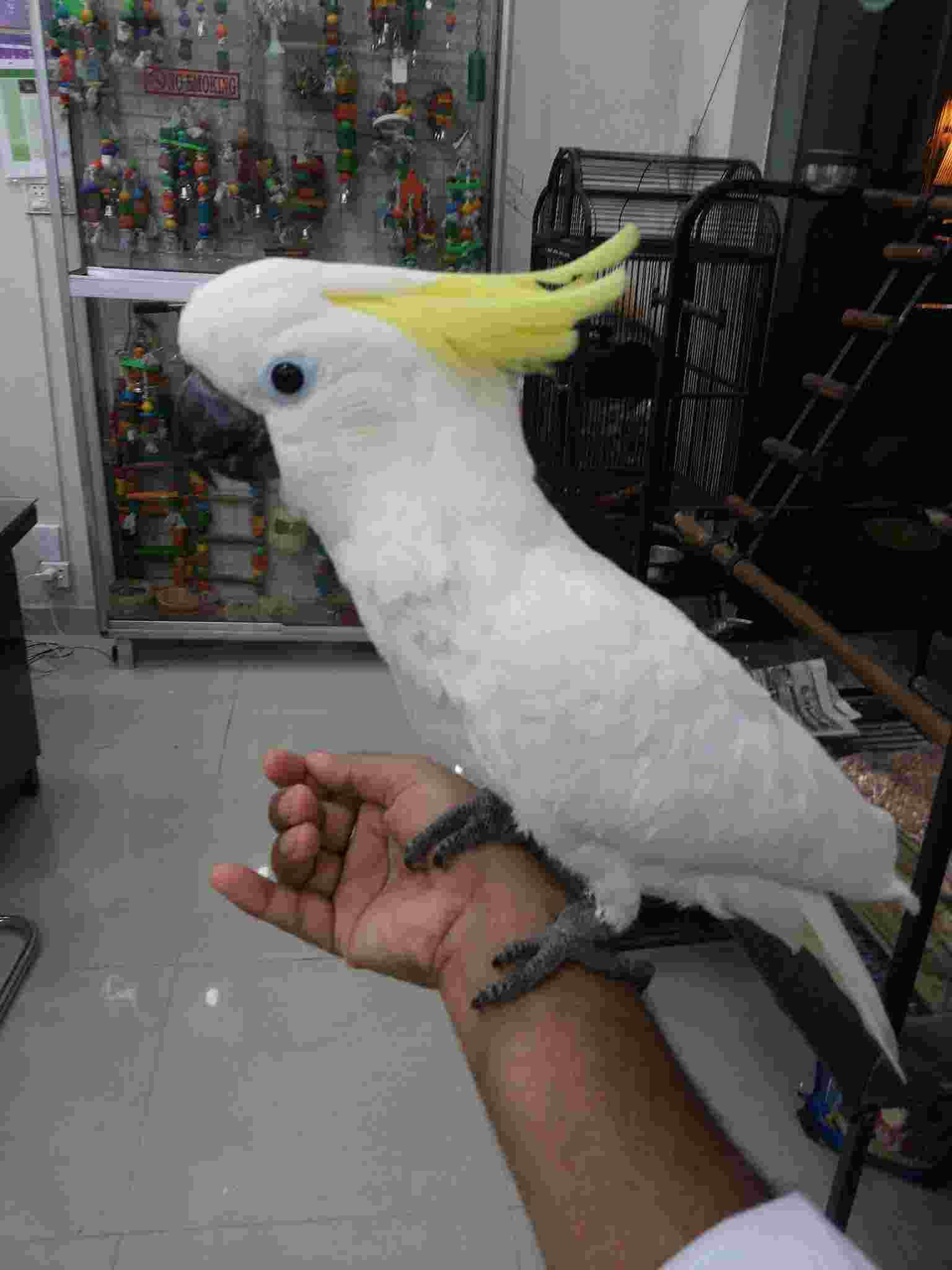 Jual Burung Kakatua Jinak Pintar Bicara Laman 83142146217 Pasti Terjual