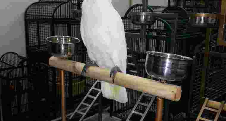 Jual Burung Kakatua Jinak Pintar Bicara