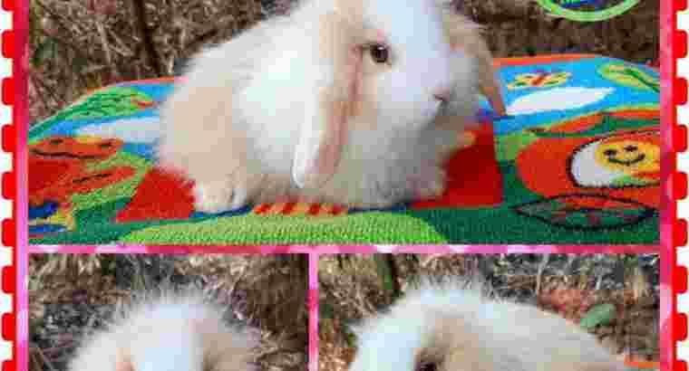 Kelinci Hias Puzzy lop by Ervisa Rabbit
