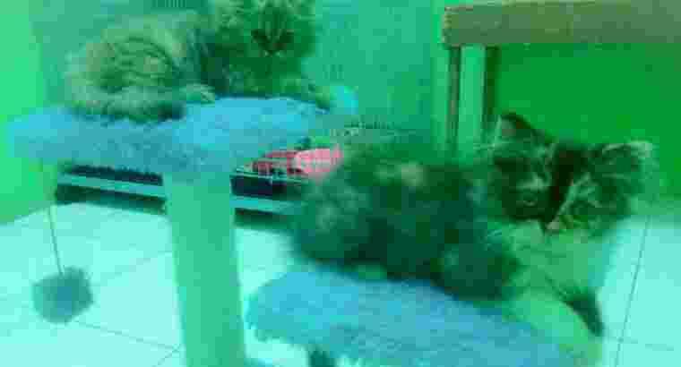 kucing kitten persia medium asli