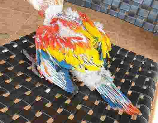 Jual burung macaw scarlet baby