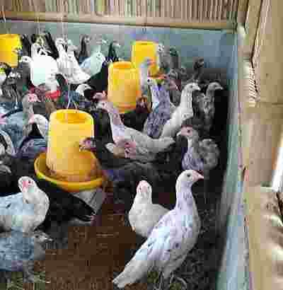 Peternak Ayam Kampung Organik