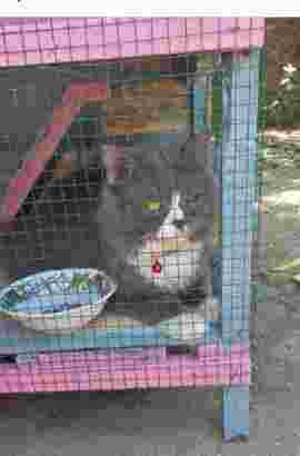 Lepas Adopsi Kucing Persia Jantan Abu Abu Putih