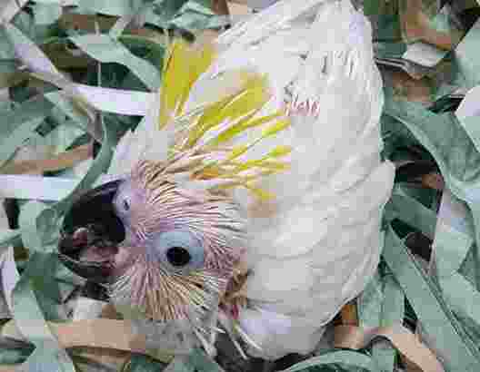 Jual Burung Kakatua Jambul Kuning