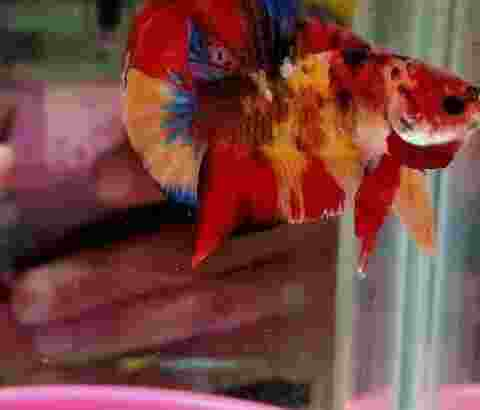 cupang hias full warna