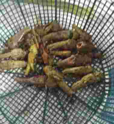 belalang goreng gunungkidul