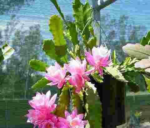 tanaman hias Wijaya Kusuma impor