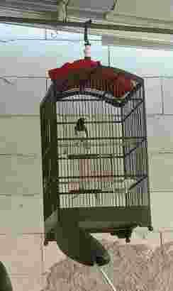 jual burung Kacer daput