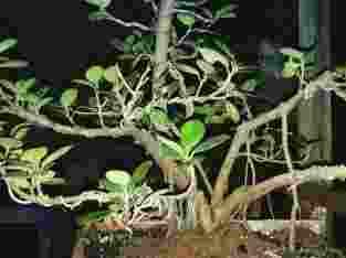 tanaman bonsai pengeriman melali via jne&jnt
