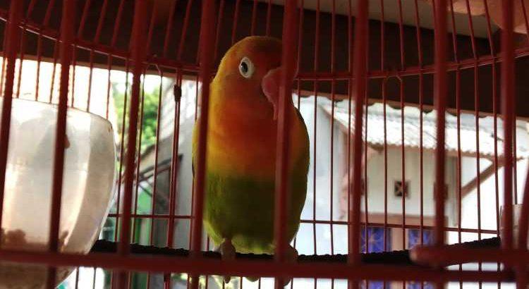 jual Lovebird