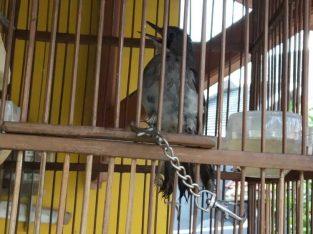 jual burung brinji abu