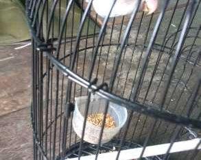 dijual burung Lovebird mulus ,kicauan mantap,wilayah Palembang ,hubungi 082279091249