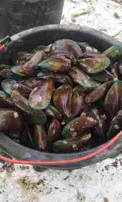 menjual jenis kerang laut kerang hijau 13000 per kg kerang dara 27000 per kg kerang kepa 14000 per kg kerang bulu 13000 per kg dan banyak lagi yang lain nyaa