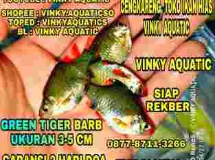 GREEN TIGER BARB 3-5 CM