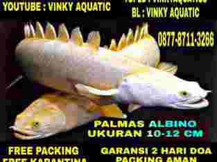 PALMAS ALBINO 10-12 CM