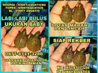 LABI-LABI BULUS BABY