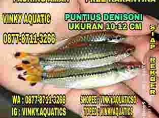 PUNTIUS DENISONI 10-12 CM