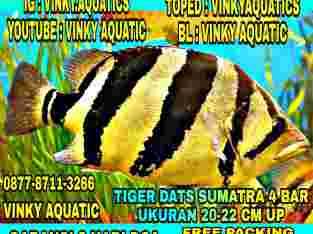 TIGER DATS SUMATRA 4 BAR 20-22 CM