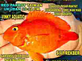 RED PARROT TAIWAN 10-12 CM