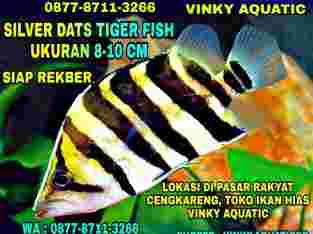 SILVER DATS TIGER FISH 8-10 CM