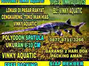 POLYODON SPATULA 8-10 CM