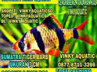 SUMATERA TIGER BARB 3 CM