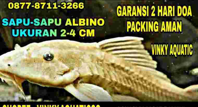 SAPU-SAPU ALBINO 2-4 CM