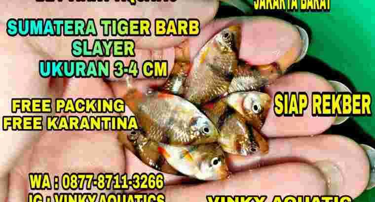 SUMATERA TIGER BARB SLAYER 3-4 CM