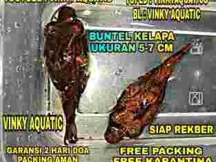 BUNTEL KELAPA 5-7 CM