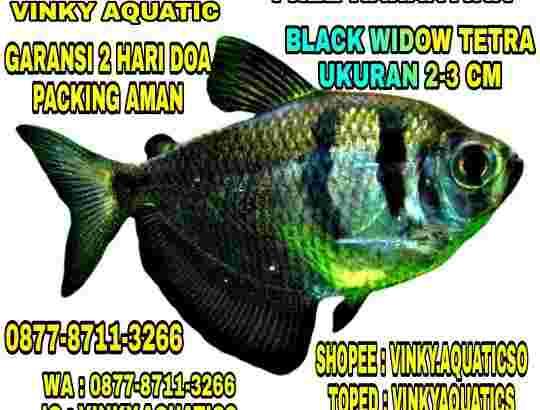 BLACK WIDOW TETRA 2-3 CM
