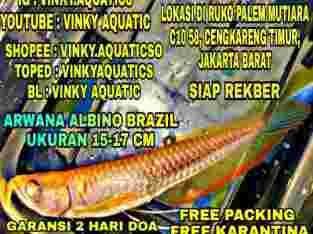 ARWANA ALBINO RED BRAZIL 15-17 CM