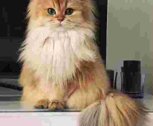 grooming kucing di pakuwon city