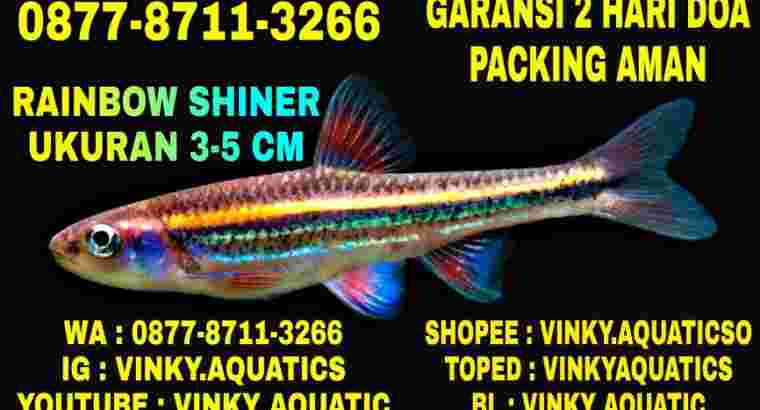 RAINBOW SHINER 3-5 CM
